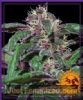 Barneys Farm Ayahuasca Purple Fem 5 Weed Seeds